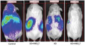 Wpływ tlenoterapii hiperbarycznej na myszy